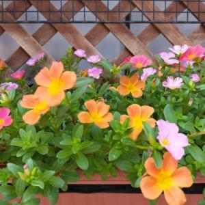 元気なのは花だけ、、、暑い熱いあつい~
