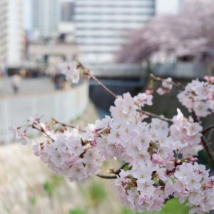 桜、真っ盛り