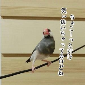 脱力ニギコロ文鳥(11/12追記)
