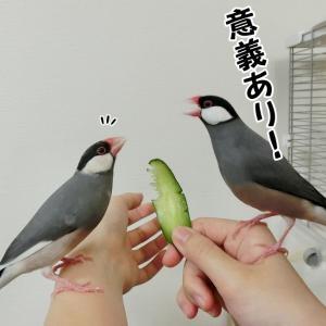 3羽の文鳥と1枚のスライスきゅうり
