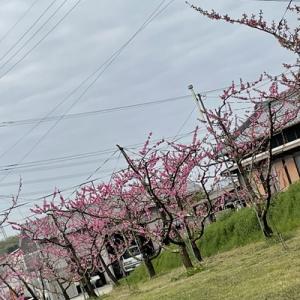 桃花が満開です…今年は早い予想