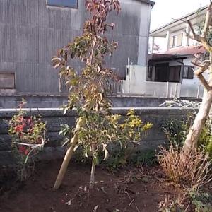 小郡市井上で常緑ヤマボウシの植栽をしました。