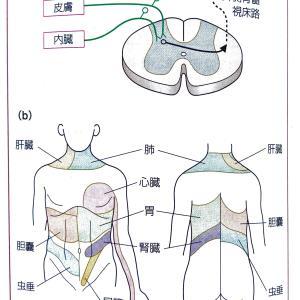 なごみカイロの施術観その3 内臓  都城 カイロ 整体 腰痛 肩こり 内臓からの不具合