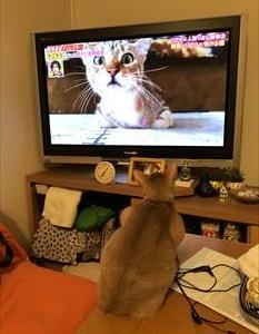 テレビのにゃんこ