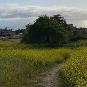恵みの雨 黄色いマスタードフラワー花盛り