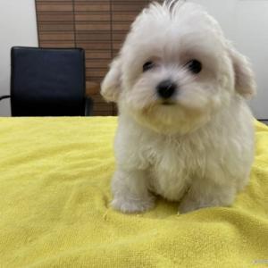 マルプー子犬