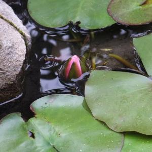 咲いてくれた池の睡蓮…