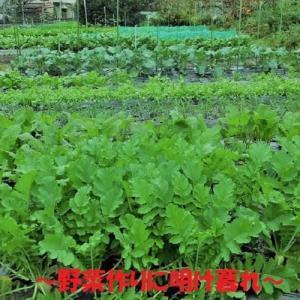 SSサイズの種芋でもジャガイモの収穫は出来るのか?