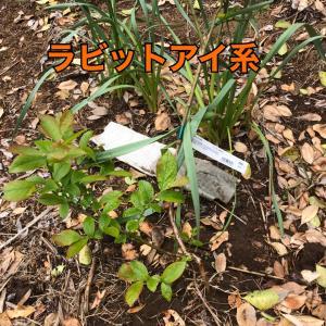 ブルーベリー植樹♡
