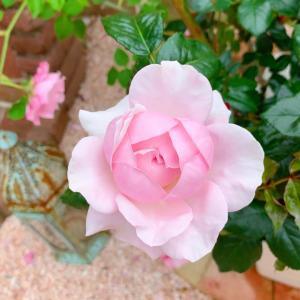 お気に入りのバラ♡