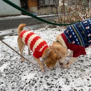 雪のお散歩〜シニア犬