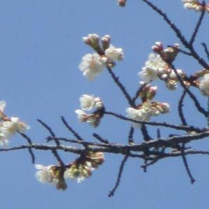 世の喧騒 静かな自然 寒桜