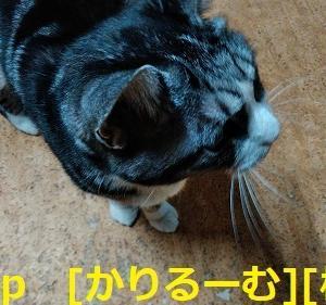 2018年12月24日猫すず(スズ)の写真 cari.jp
