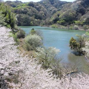 奥のダムの桜
