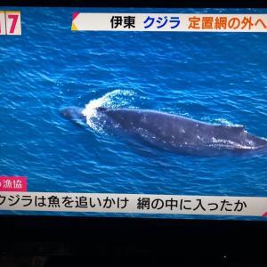 座頭鯨来る