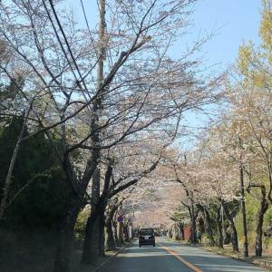 桜並木の様子