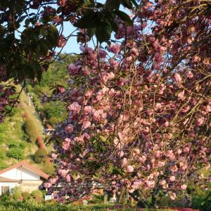 小室山 八重桜とツツジ