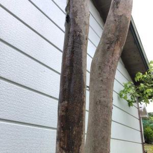 ヒメシャラの木