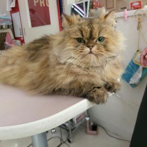 長毛猫チンチラのシャンプーは どんちゃん