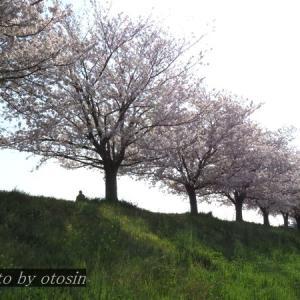 散歩写真(4月3日_土手の桜)