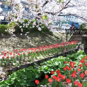 散歩写真(4月9日_チューリップ&サクラの続き)
