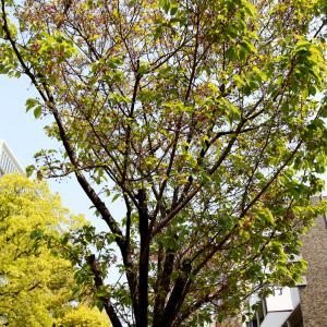 中央通りの陽光桜よ、また来年。