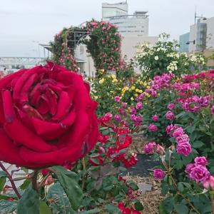 サンポートのバラ園のバラは、今が見ごろ。