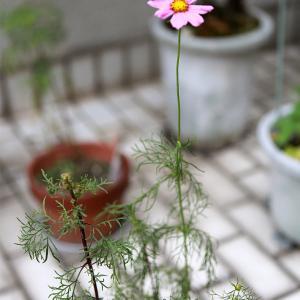 「早咲きコスモス」がまた咲いた。