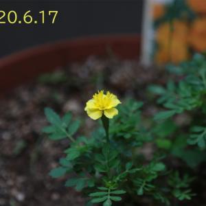 マリーゴールドの花が咲いた。