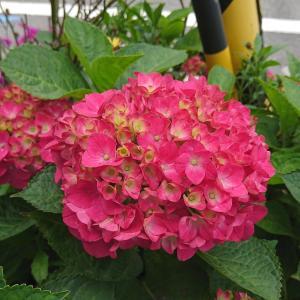「紫陽花」と「アジサイ」、このあじさいはどっちのイメージ?
