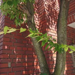 ケヤキの葉の成長にびっくりだ。