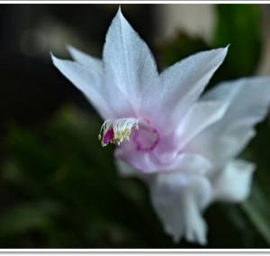 今頃シャコバサボテンの花