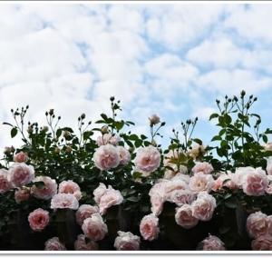 バラ咲き誇る