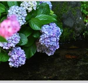 万博公園の紫陽花2