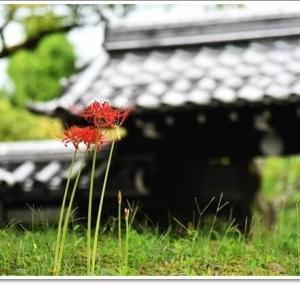 南禅寺の彼岸花