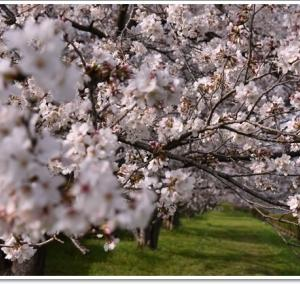 安威川土手の桜