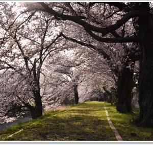 七谷川の桜