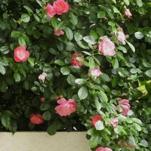 次々と薔薇の花が