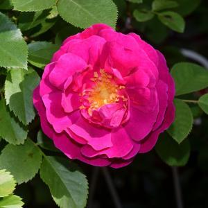 アンリマルタン(薔薇)