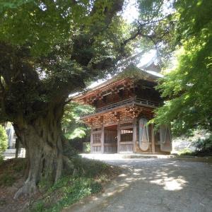 薬王院とコアジサイ --- 筑波山
