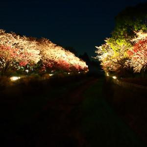 夜桜を観に
