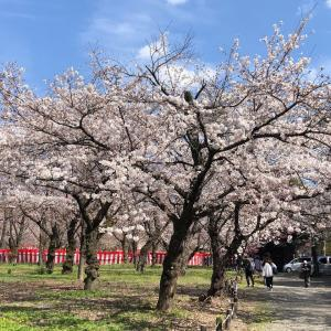 ご近所で楽しむ桜