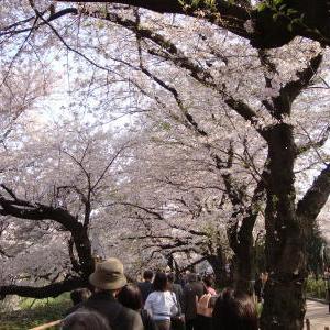 千鳥ヶ淵 桜 お花見