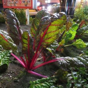 美味しそうな茎だったので調べたらやっぱり野菜だった植物 <お花で一休み・番外編>