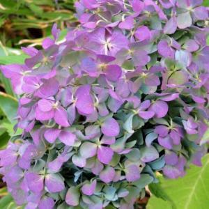 秋の紫陽花<お花で一休み(32)>