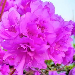 <お花で一休み(56)> ツツジの女王