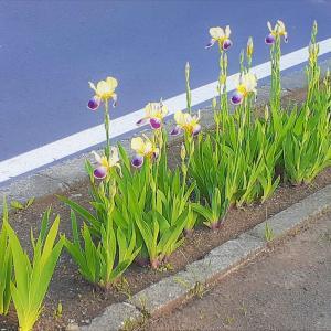 お花で一休み(66) ジャーマンアイリス
