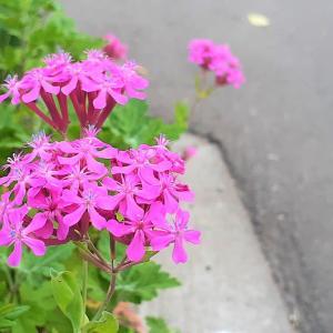 虫は捕るけど食虫植物ではない花 <お花で一休み(68)>