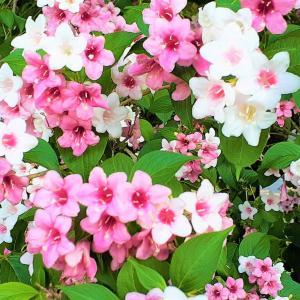 スイカズラ科の方のウツギ <お花で一休み(69)>