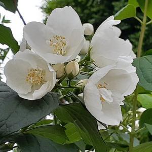 人気のある、アジサイ科のウツギ⑤ <お花で一休み(82)>